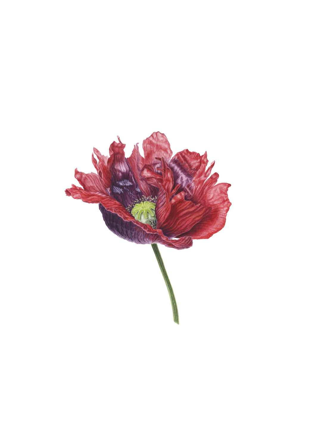Red frilly poppy