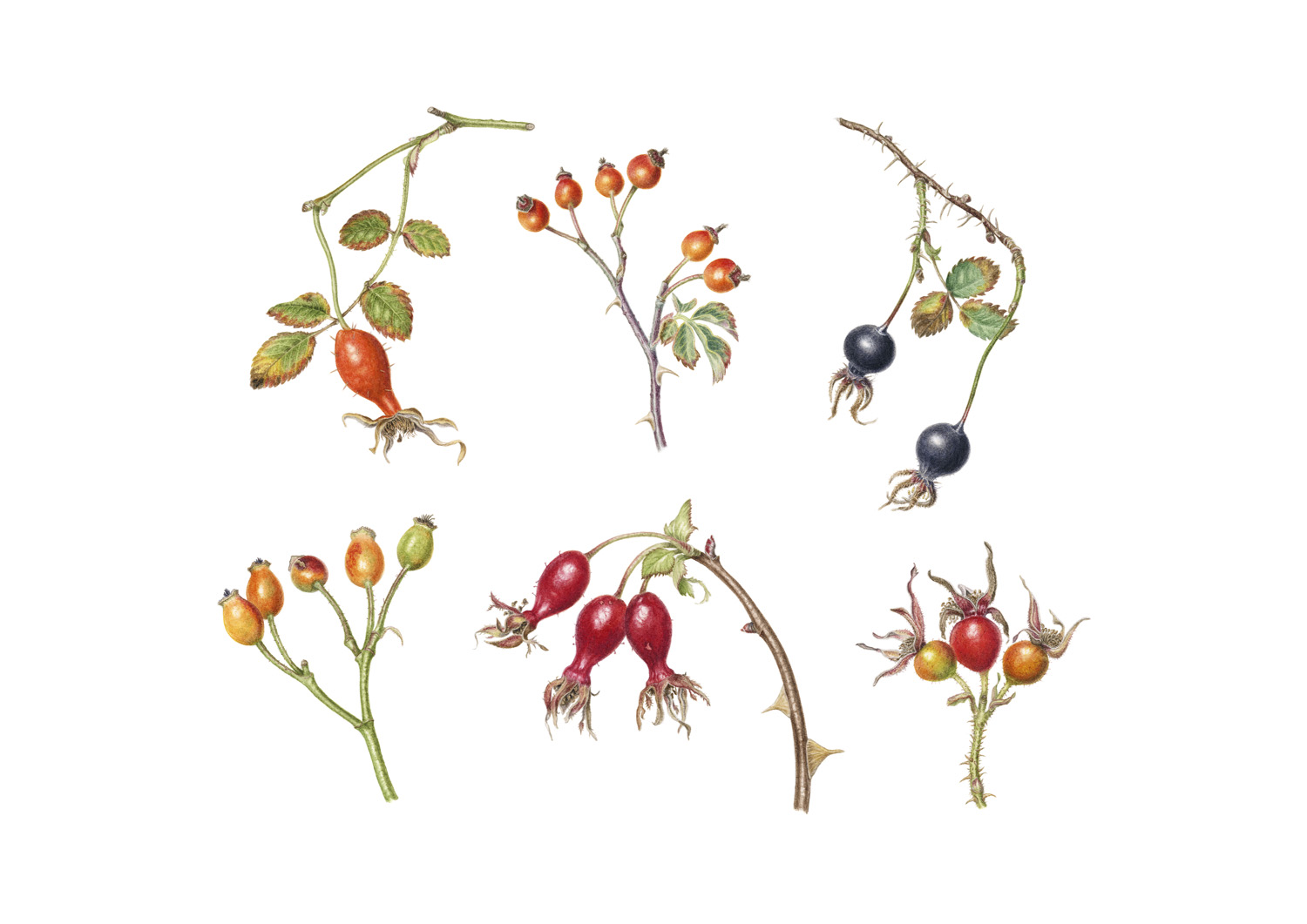 Rose hip compilation