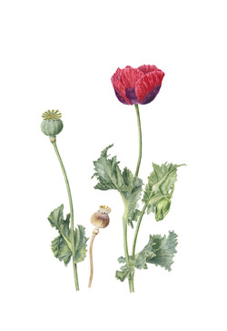 Red Poppy with seed heads