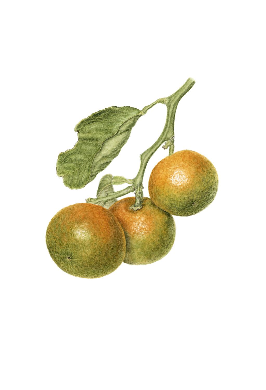 Seville oranges #2