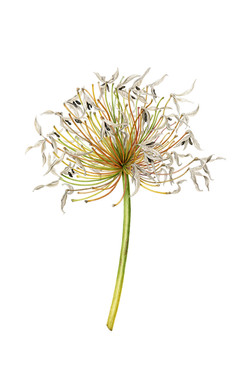 Agapanthus seed-head