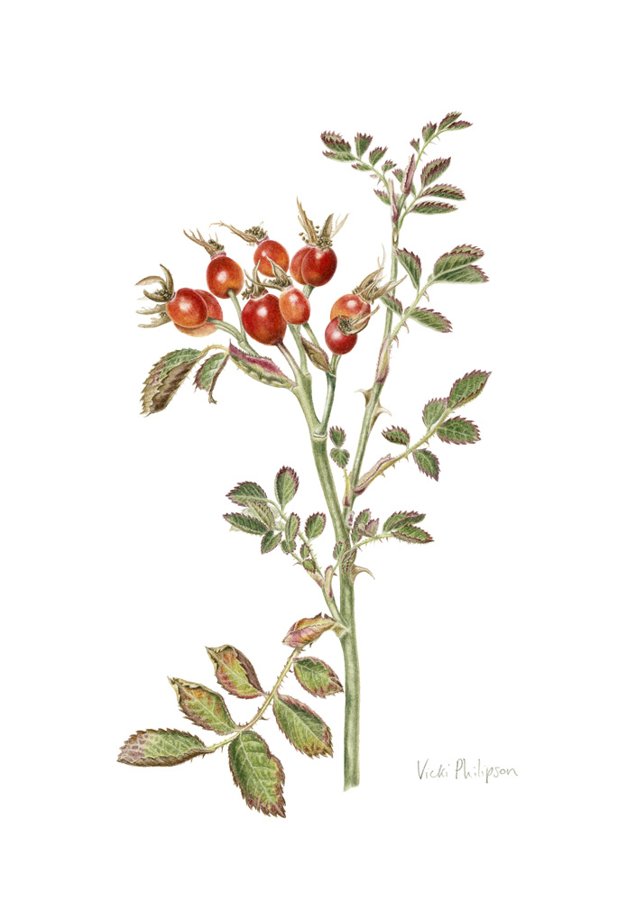 Sweet Briar rosehips