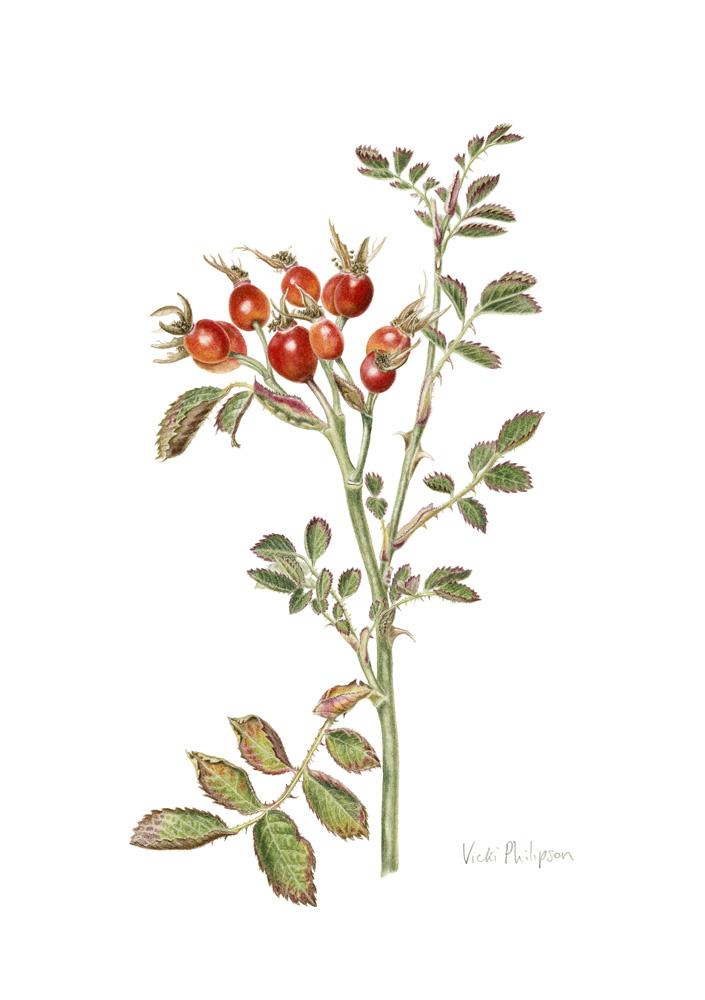 Sweet Briar rosehips