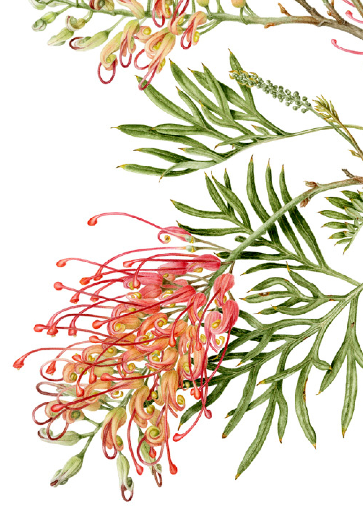 Grevillea 'Ned Kelly'