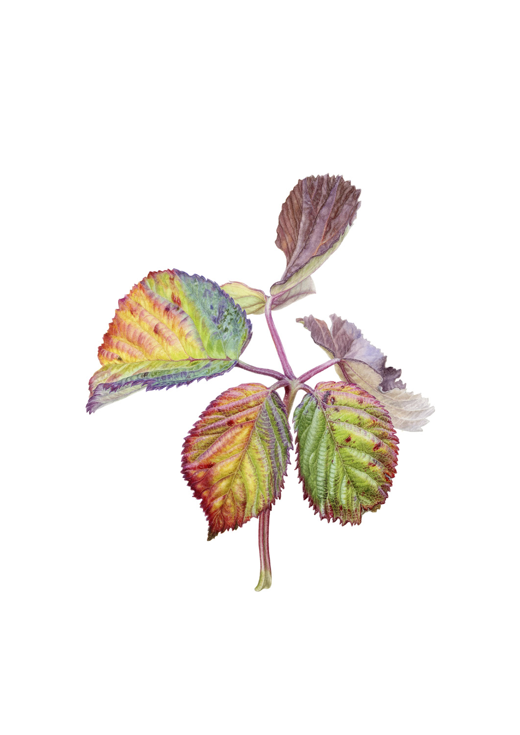 Thornless blackberry leaflets
