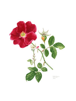 Redcoat rose