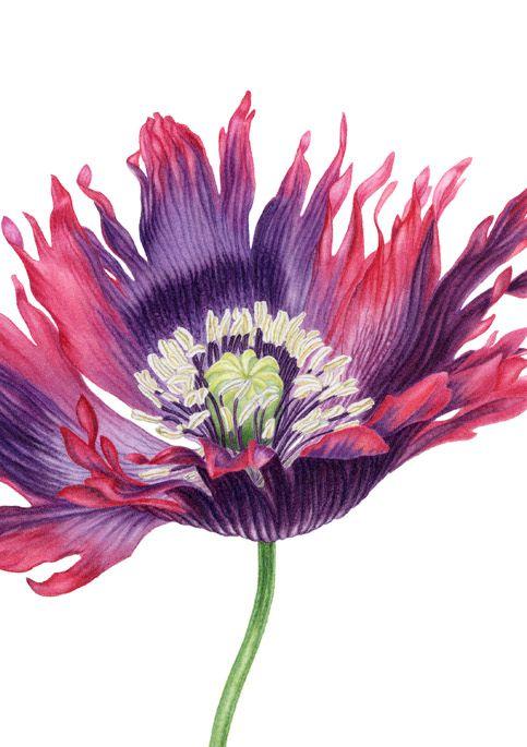 Fringed poppy detail