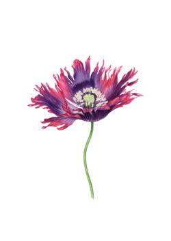Fringed poppy