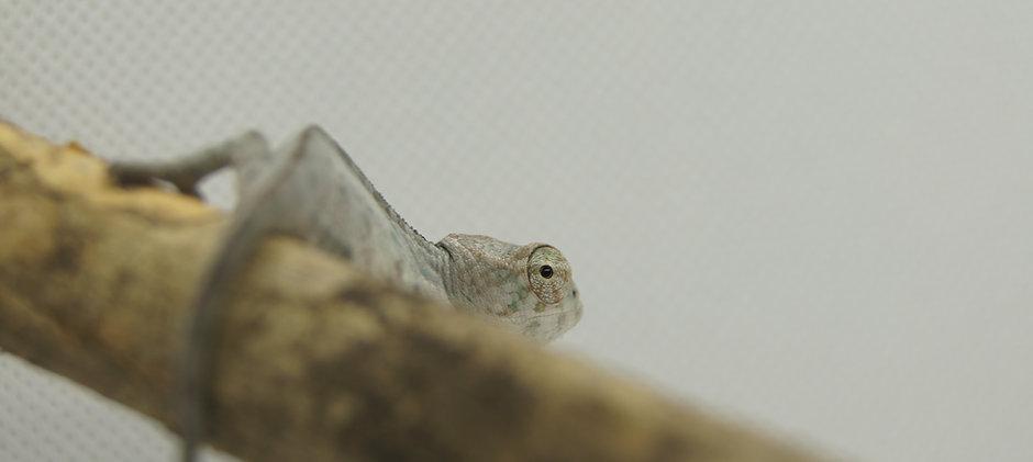 Crías de camaleón pantera