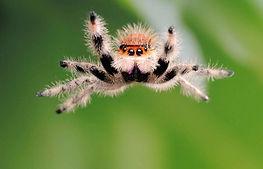 jumping-spider-jump-800x532.jpg