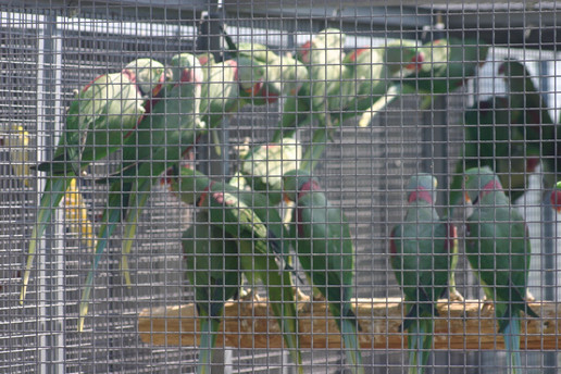 Illegal parrots trade