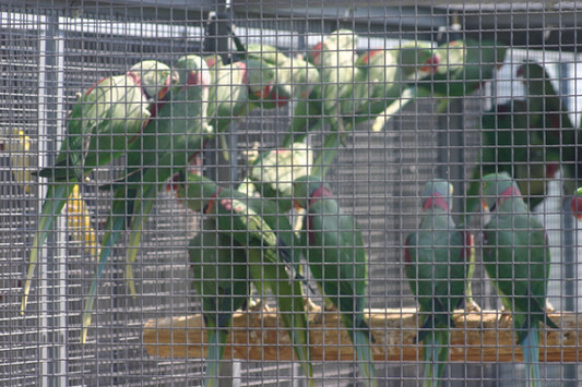 Illegal parrots trade