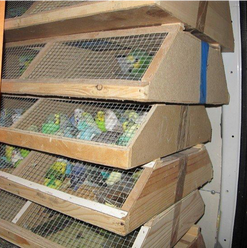 Illegal parrot's trade