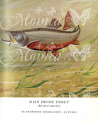 Male Brook Trout page from Book