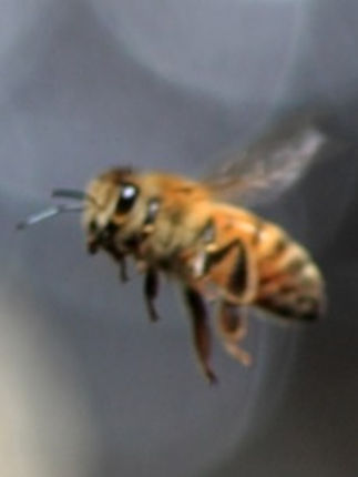 Bees_edited.jpg