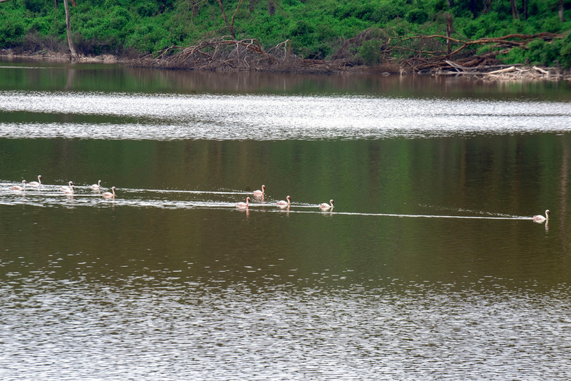 Some Flamingo visitors