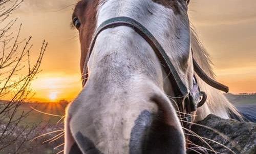 Orange whiskers horse