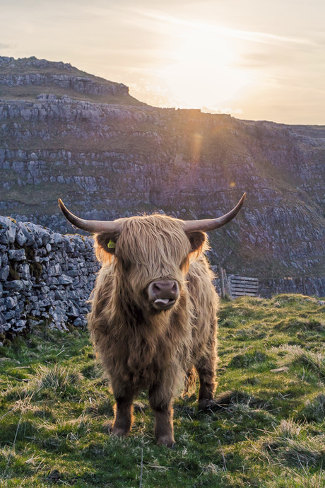 Malham Cow