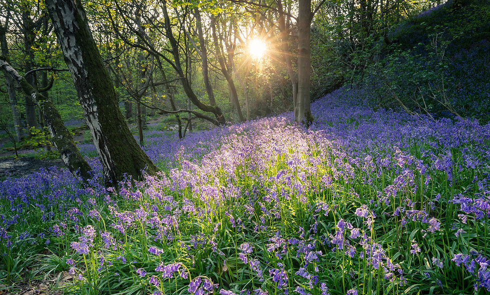 Middleton Woods Bluebells