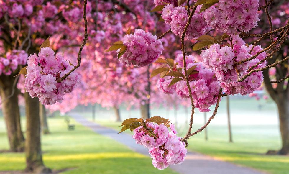 Harrogate Stray Blossom