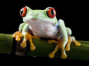 Rote-Augen-Frosch