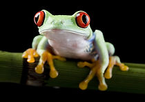 Grenouille yeux rouges