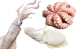 Molluscs - Squid, Octopus, Cuttle Fish
