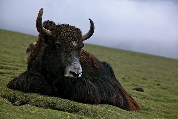 yak in the Himalayas