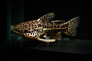 Jaguar Catfish.jpg