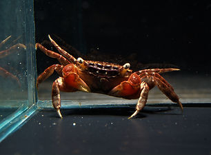 Red Clawed Crab.jpg
