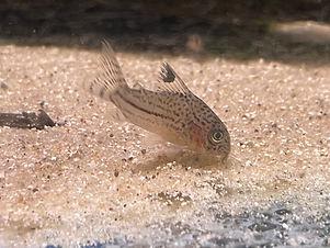 Cory Trilineatus.JPG