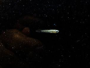 Lampeye Killifish.JPG