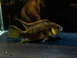 Benitachromis Nigrodorsilis.JPG