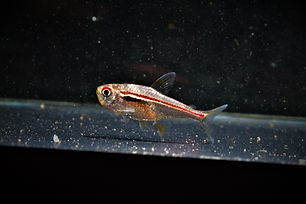 Hyphessobrycon Amapaensis.jpg