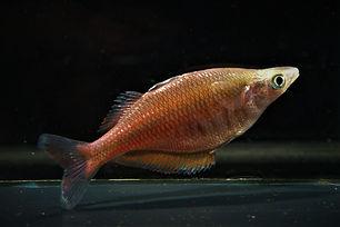 Chilatherina Sentianensis.jpg