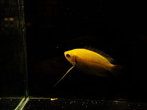 Honey Gourami.JPG