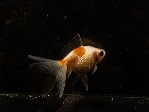 Pearlscale Goldfish.JPG