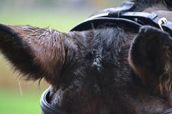 Wixen, wet ears.JG copy (2).jpg
