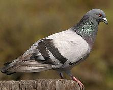 Rock_Pigeon_n09-1-191_l_1.jpg