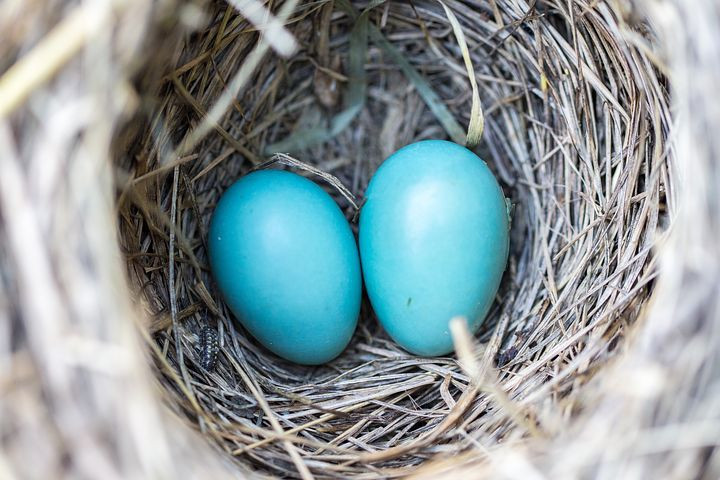 2 blue robin's eggs in a nest