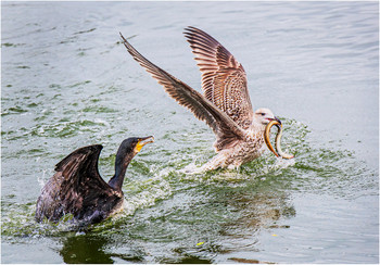 2019RFNHM_PRINT_012 - Black-Backed Gull Robs Cormorant by Pat McKeefry.  Commended
