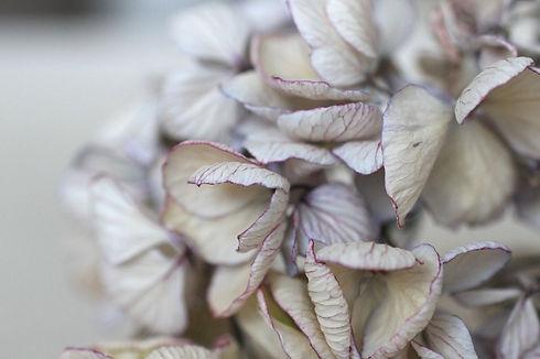 Taustakuva hortensia