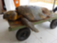 tartaruga_cabeçuda_23032018.png