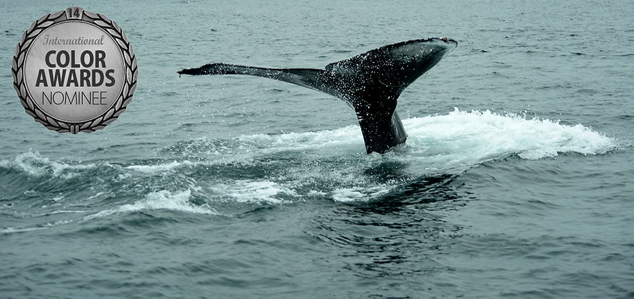 Megaptera novaeangliae series Cetaceans