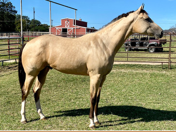 New Listing: 2019 ABRA APHA (RR) Gelding for Sale!