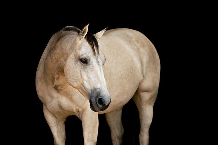 Buckskin horse looking away