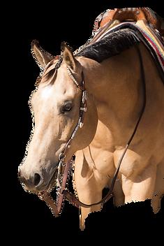 Buckskin show horse