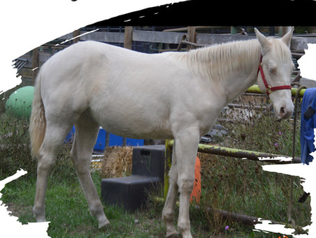 New Listing - Horses for Sale on the ABRA Website