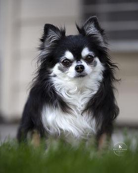 Precious-Long Hair Chihuahua