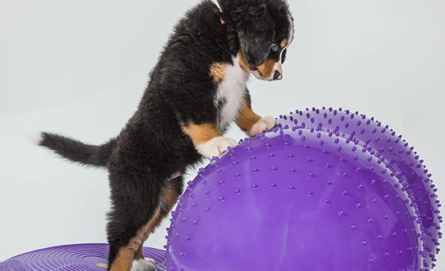 cucciolo di Bovaro bernese su disco e pallone propriocettivo